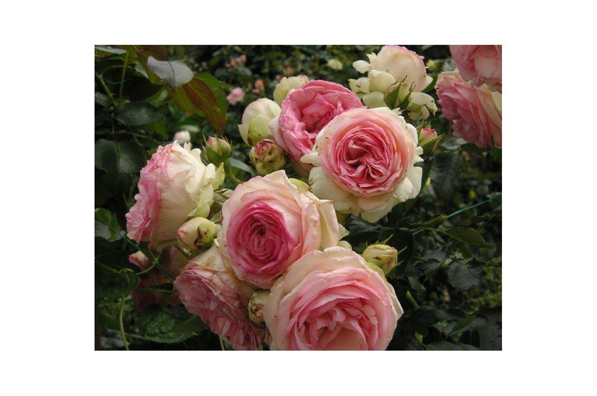 Розы сербия монтеагро купить подарок мужчине прикольные