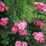 Роза сорт Leonardo da Vinci